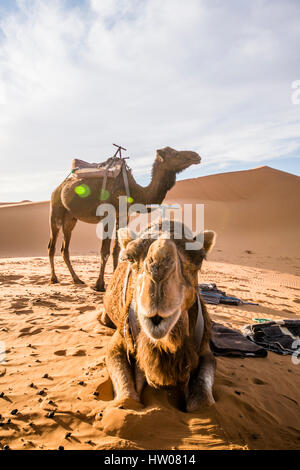Camel on the Dunes of the Sahara Desert at sunset in Merzouga - Morocco - Africa - Stock Photo