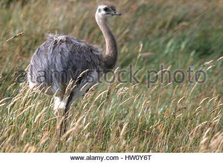 A young lesser rhea, Rhea pennata, in a grassy field. - Stock Photo