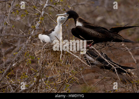 A female Magnificent Frigatebird feeds her chick on North Seymour Island in the Galapagos Island chain. - Stock Photo