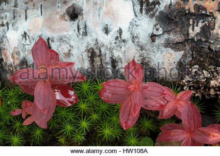 Fallen birch and the red leaves of dwarf cornel lie on the forest floor. - Stock Photo