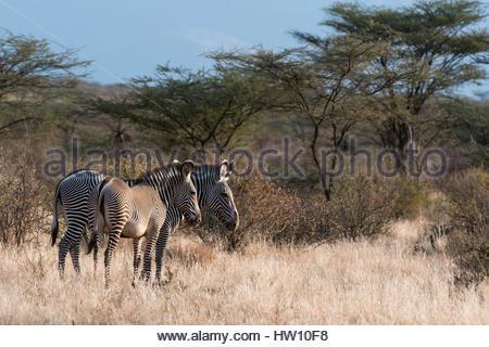 A Grevy's zebra, Equus grevyi, and its foal, Kalama Conservancy, Samburu, Kenya. - Stock Photo