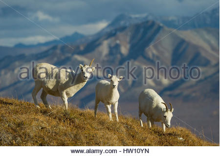 Three female Dall's sheep eat grass on a ridge. - Stock Photo