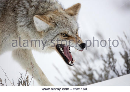 A coyote, Canis latrans, bares its teeth in a warning posture. - Stock Photo