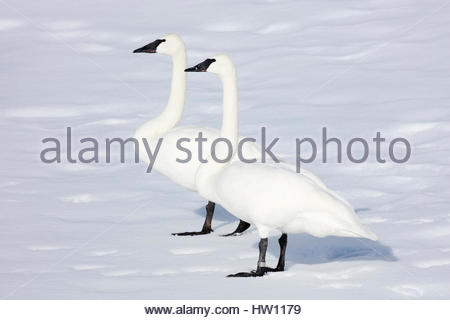 Two trumpeter swans, Cygnus buccinator, stand on snow together. - Stock Photo