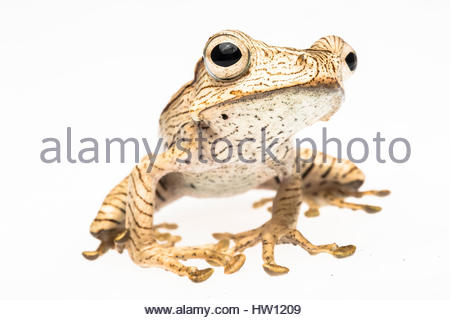 Portrait of a Borneo eared frog, Polypedates otilophus. - Stock Photo