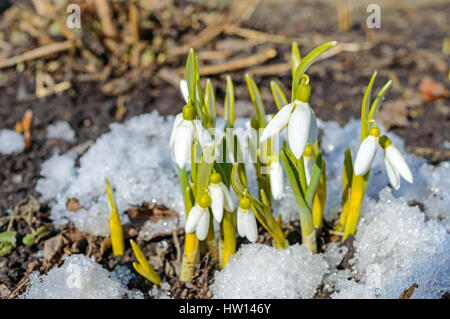 The first spring flowers snowdrops in the snow on the nature the the first spring flowers snowdrops in the snow on the nature the symbol of mightylinksfo