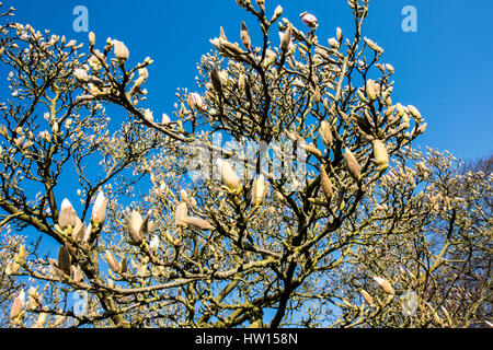 Buds on a well-established Magnolia tree about to burst into flower on a sunny spring day with clear blue skies - Stock Photo