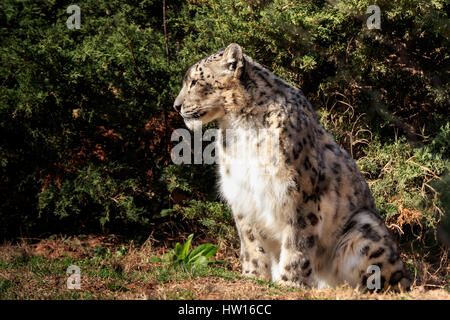 A dignified Snow Leopard enjoys the warm sun on a cold morning - Stock Photo