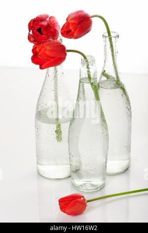 bloom, blooming, blooms, blossom, blossoming, blossoms, breed, close, closeup, close-up, closeups, close-ups, detail, - Stock Photo