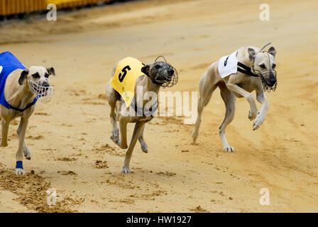 Greyhound runnings, Windhundrennen - Stock Photo