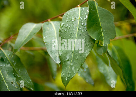 Raindrops on a sheet, Regentropfen auf einem Blatt - Stock Photo