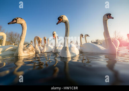 Group of white swans on the lake - Stock Photo