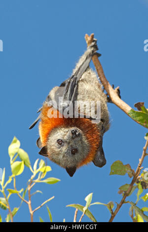 Grey Headed Flying Fox, Pteropus poliocephalus, hanging from a branch with a blue sky background. - Stock Photo