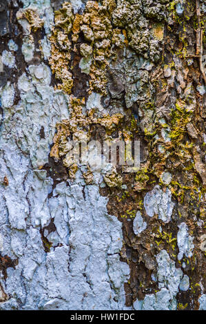 Bark with Lichen, Texture and Background - Stock Photo
