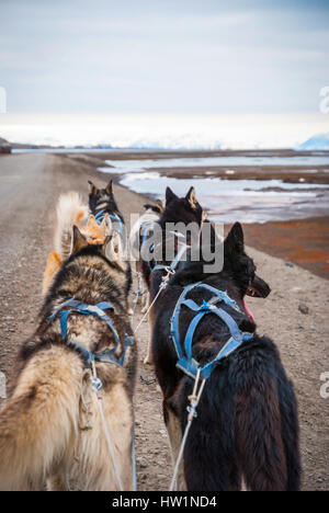 Sledding dogs ready to pull the sled in Svalbard, Arctic - Stock Photo