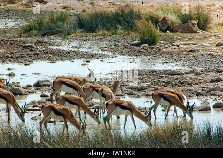 Springboks drinking at Salvadora waterhole, with lions nearby, Etosha National Park, Namibia