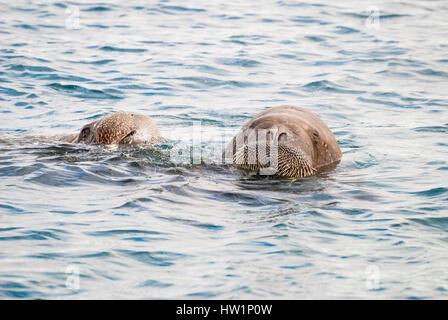 Walruses swimming in the sea - Stock Photo