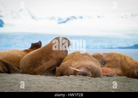 Walruses lying on the shore in Svalbard, Arctic - Stock Photo