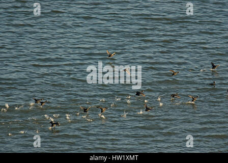 Flock of eurasian coots (Fulica atra), Lake Trasimeno, Umbria, Italy, Europe - Stock Photo