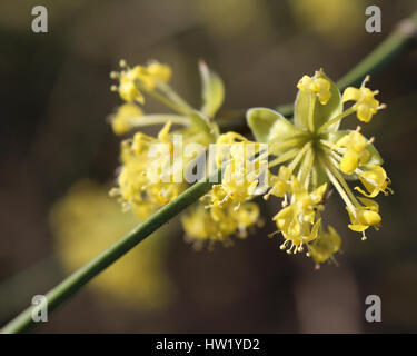 The early bright yellow flowers of Cornus mas also known as Cornelian cherry, European cornel or Ccherry dogwood, - Stock Photo
