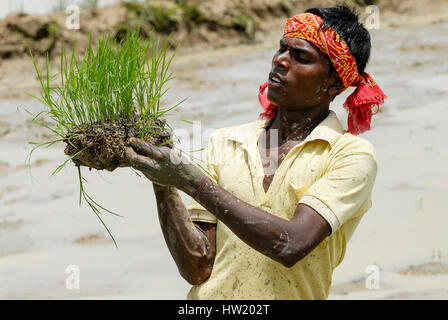 INDIA Westbengal, village Gandhiji Songha , SRI system of rice intensification, paddy cultivation, replanting of - Stock Photo