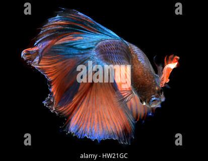 Action of Haft moon tail orange green Betta fish or Siamese fighting fish photo in flash studio lighting. - Stock Photo