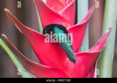 Purple Throated humming bird at flower - Stock Photo