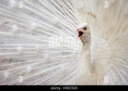 The White Peacock, Zhengzhou, Henan, China - Stock Photo