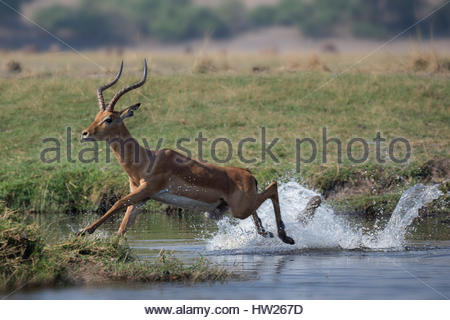 Impala (Aepyceros melampus) male running through water, Chobe river, Botswana, September 2016 - Stock Photo