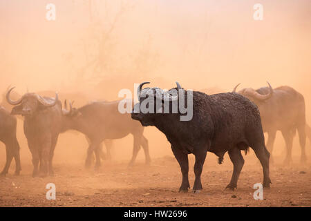 Cape buffalo (Syncerus caffer) herd, Zimanga private game reserve, KwaZulu-Natal, South Africa, September 2016 - Stock Photo
