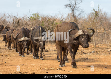 Cape buffalo (Syncerus caffer) herd, Kruger national park, South Africa, September 2016 - Stock Photo