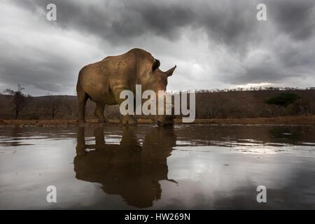 White rhino (Ceratotherium simum) dehorned, Zimanga private game reserve, KwaZulu Natal, South Africa, September - Stock Photo