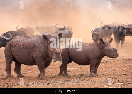 White rhino (Ceratotherium simum) and calf, dehorned, Zimanga private game reserve, KwaZulu Natal, South Africa, - Stock Photo