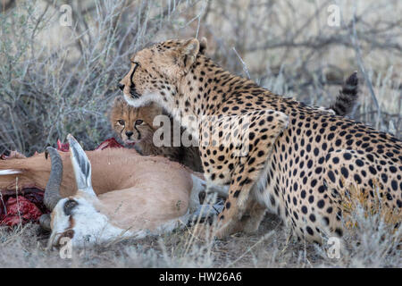 Cheetah (Acinonyx jubatus) with cub on springbok kill, Kgalagadi Transfronter Park, Northern Cape, South Africa, - Stock Photo