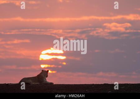 Lioness (Panthera leo) at dawn, Zimanga private game reserve, KwaZulu-Natal, South Africa, September 2016 - Stock Photo