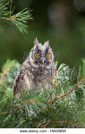 Long-eared owl (Asio otus) juvenile, captive, UK, August 2016 - Stock Photo