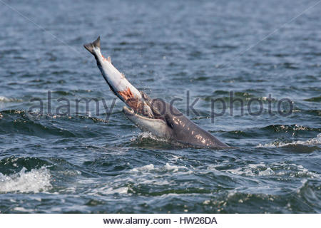 Bottlenose dolphin (Tursiops truncatus) with salmon, Fortrose, Moray Firth, Scotland, UK, May 2016 - Stock Photo
