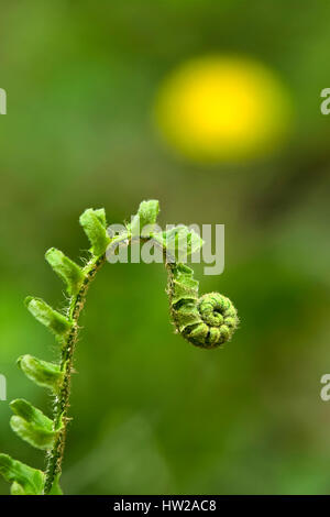New growth in spring fern leaf (frond) unfurling. - Stock Photo