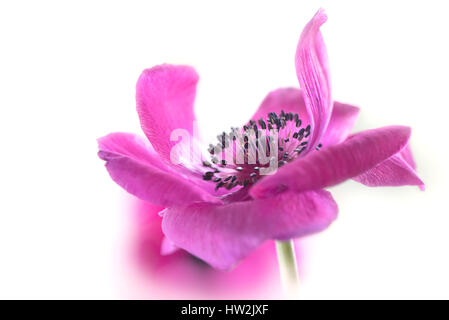 Close-up, High-key image of the beautiful Anemone coronaria De Caen pink flower, also known as the windflower, taken - Stock Photo