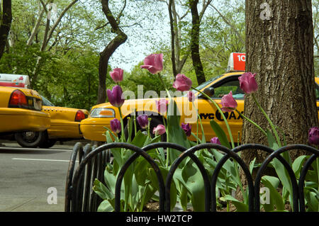 New York City yellow taxi cabs drive behind garden of purple and pink Spring tulips - Stock Photo