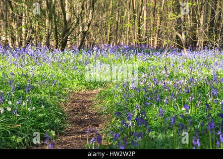Carpet of English Bluebells Hyacinthoides non-scripta (Endymion non-scriptus) with path in the Ham Street Woods - Stock Photo