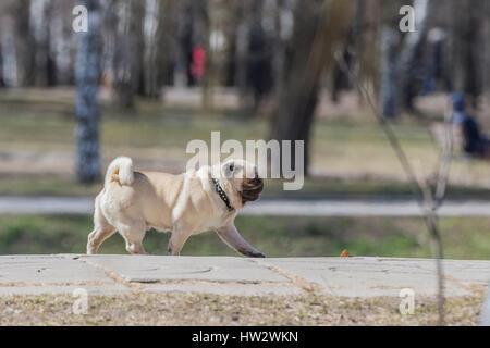 Running pug dog. - Stock Photo