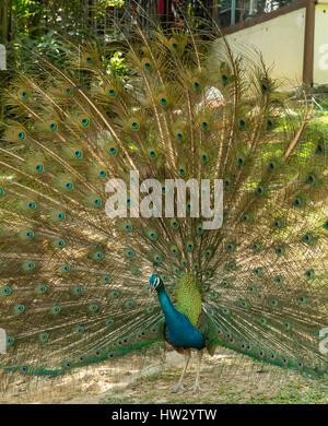 Indian Pea Fowl Displaying at Bird Garden, Kuala Lumpur, Malaysia - Stock Photo