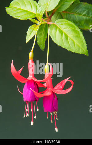 Fuchsia 'Lady's Eardrops' in the Flower Dome, Gardens by the Bay, Singapore - Stock Photo