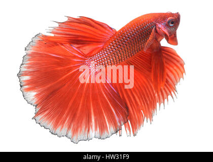 Action of Red haft moon long tail Betta fish or Siamese fighting fish photo in flash studio lighting. - Stock Photo