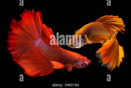 Betta fish in freedom action and show the beautiful fins tail photo in flash lighting. - Stock Photo