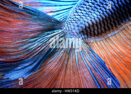 Betta fish in freedom action and show the detail of beautiful fins tail photo in flash lighting. - Stock Photo