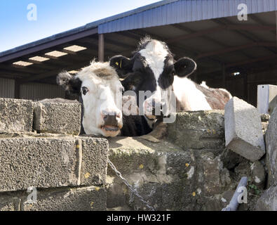 Two cows, Pembrokeshire, Wales. - Stock Photo
