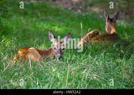Roe Deer does (capreolus capreolus) - Stock Photo