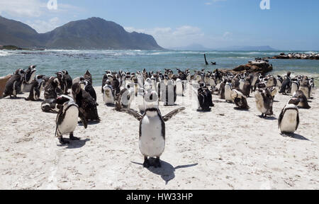 Penguins - African penguins - Spheniscus demersus - in a colony at Bettys Bay near Hermanus, Western Cape, South - Stock Photo